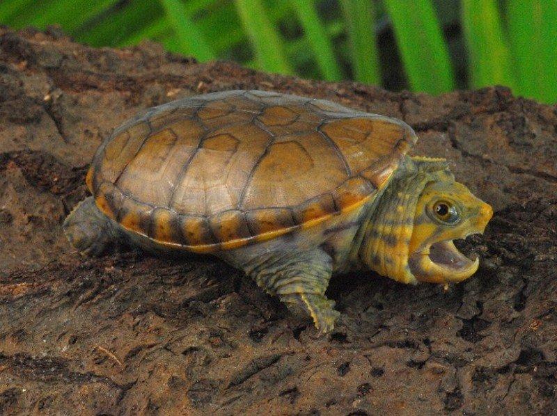 Сонорская замыкающаяся черепаха википедия