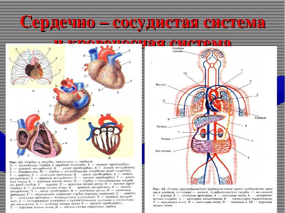 Кровеносная система человека:анатомия, строение и функции, патологии