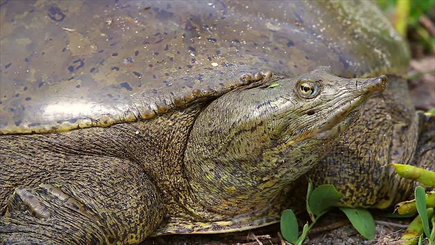 Китайский трионикс — популярная мягкотелая черепаха