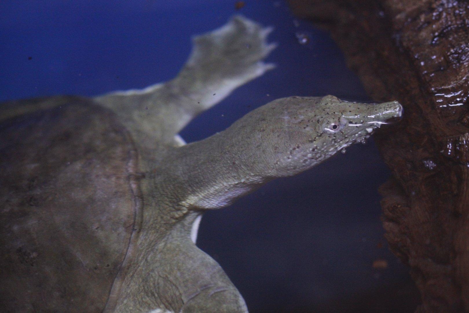 Агрессивна ли черепашка трионикс?