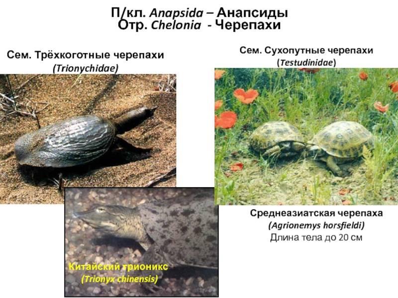 Среднеазиатские сухопутные черепахи - корм, содержание, описание