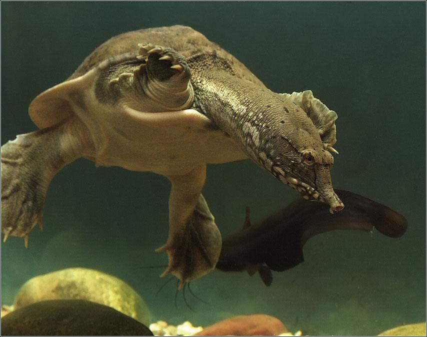 Китайский трионикс: популярная мягкотелая черепаха