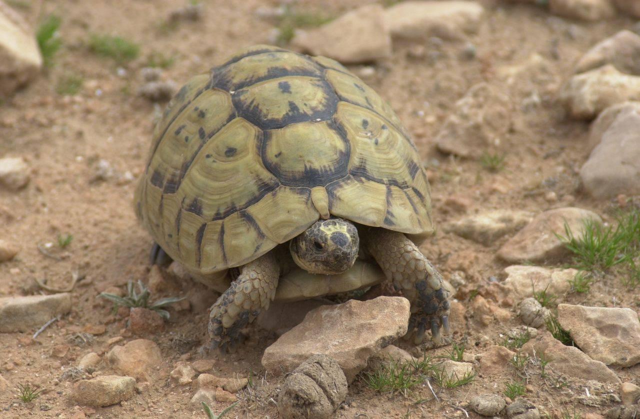 Средиземноморская черепаха никольского (testudo graeca nikolskii) в абхазии