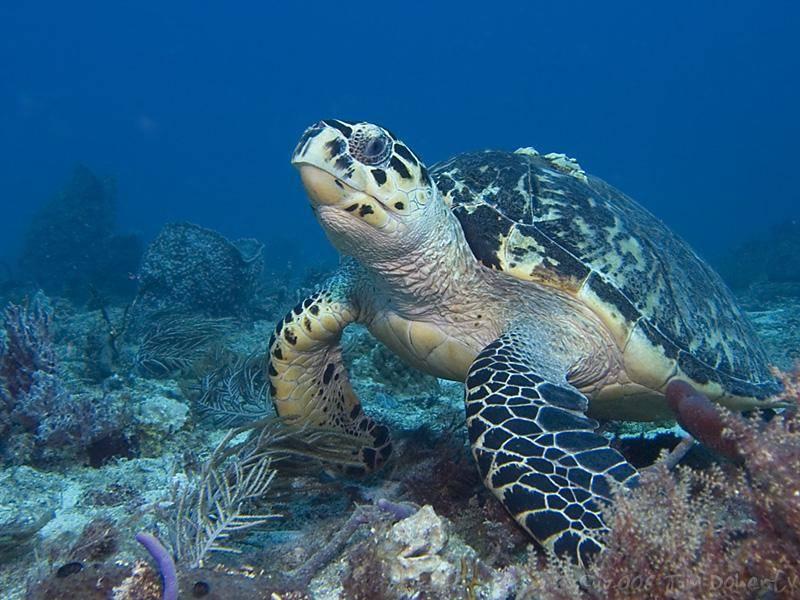 Черепахи морские википедия