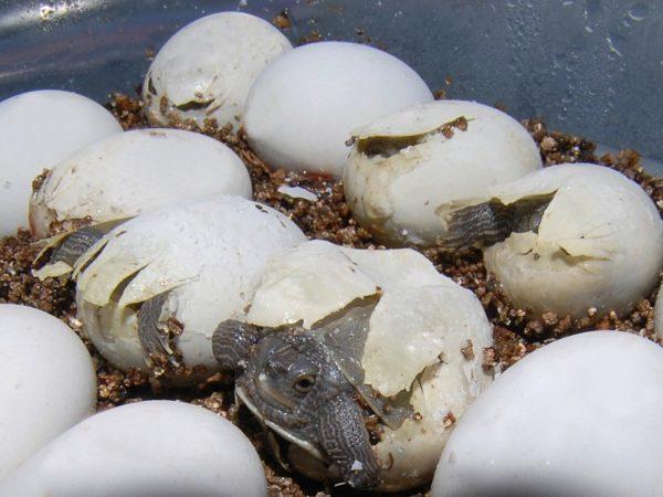 Морские черепахи через сколько вылупляются. морские черепахи. как размножаются черепахи – отложила яйца и забыла