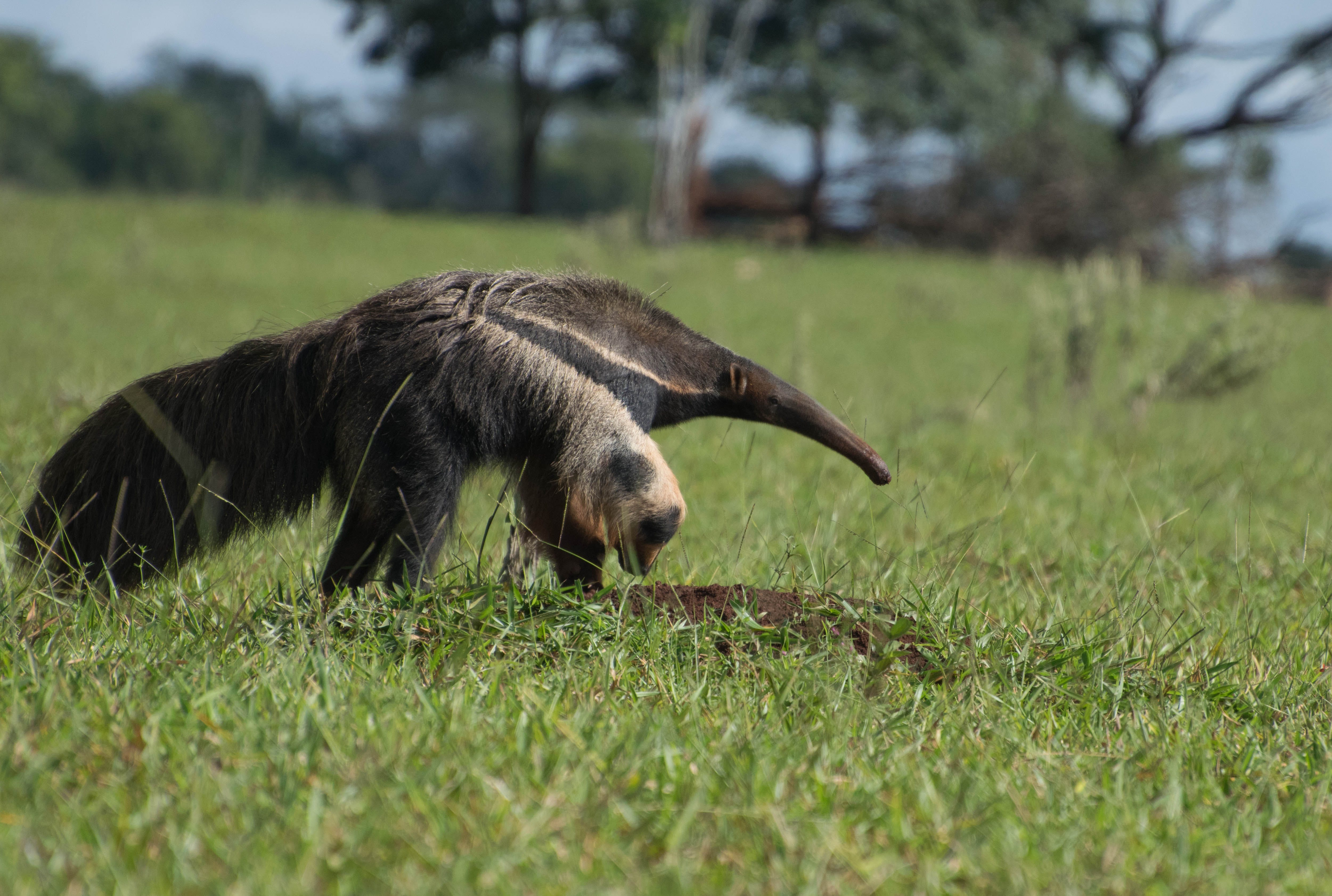 Муравьед – фото, виды, описание