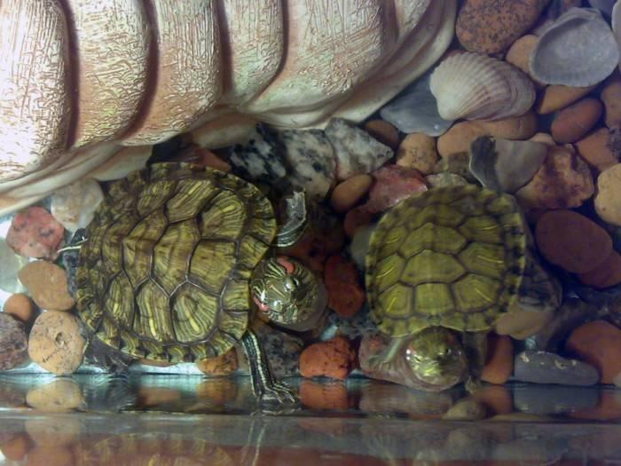 Сухопутные домашние черепахи: всё, что стоит знать о таком питомце