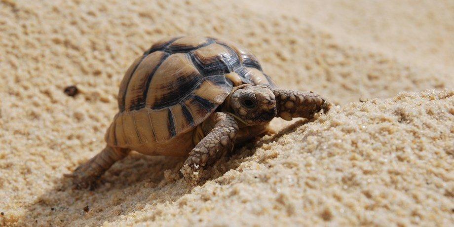 Египетская черепаха — википедия (с комментариями)