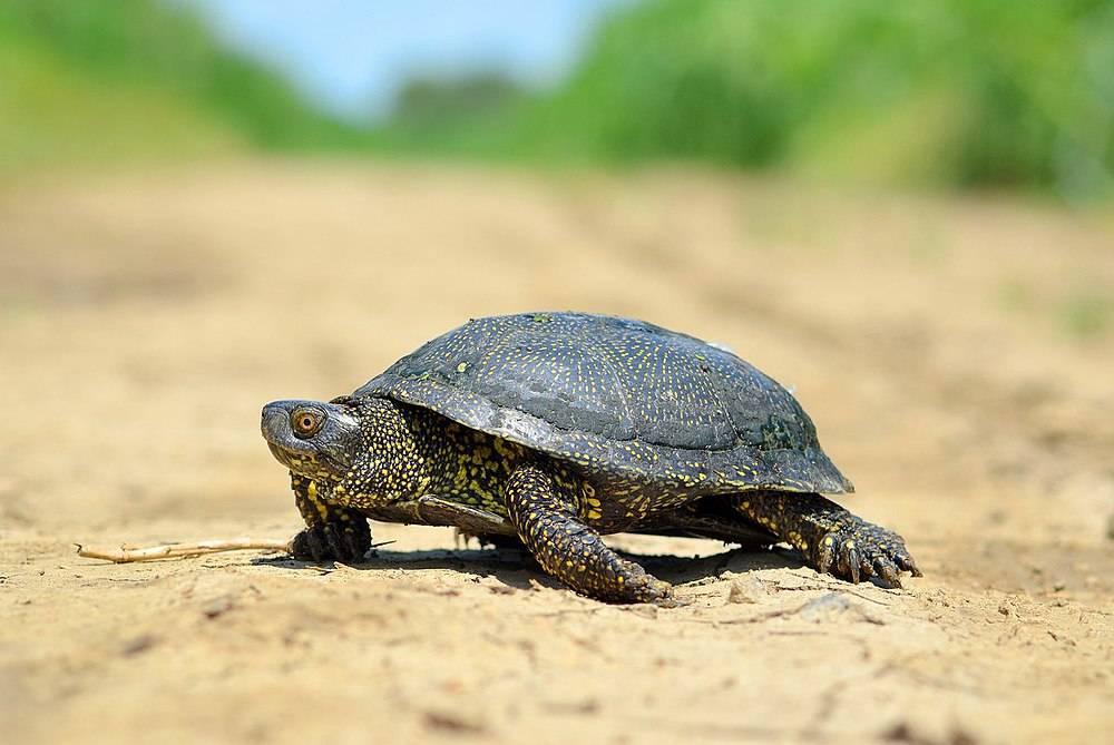 Болотная европейская черепаха