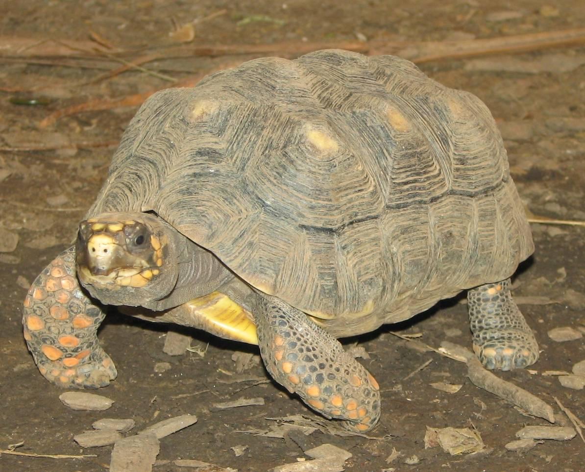 Угольная черепаха — википедия