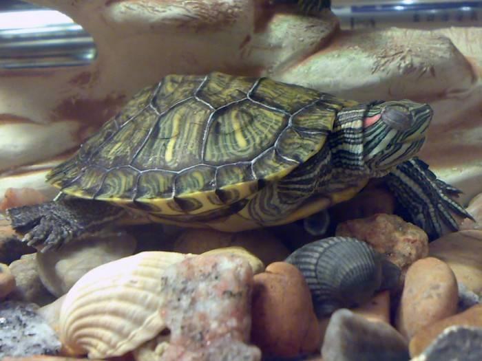 Виды красноухих черепах, условия содержания маленьких и больших рептилий в неволе