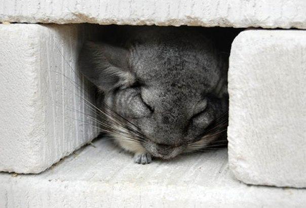 Ночью или днем: как спят шиншиллы?