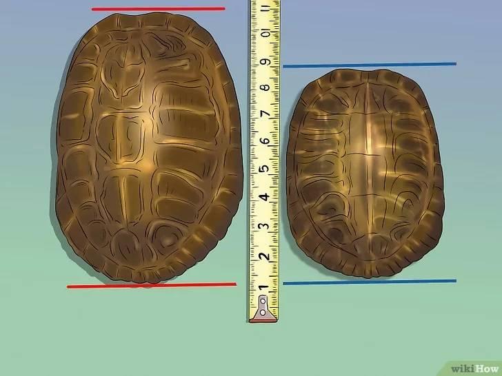 Рекомендации, как точно определить пол красноухой черепахи. отличия по общим признакам
