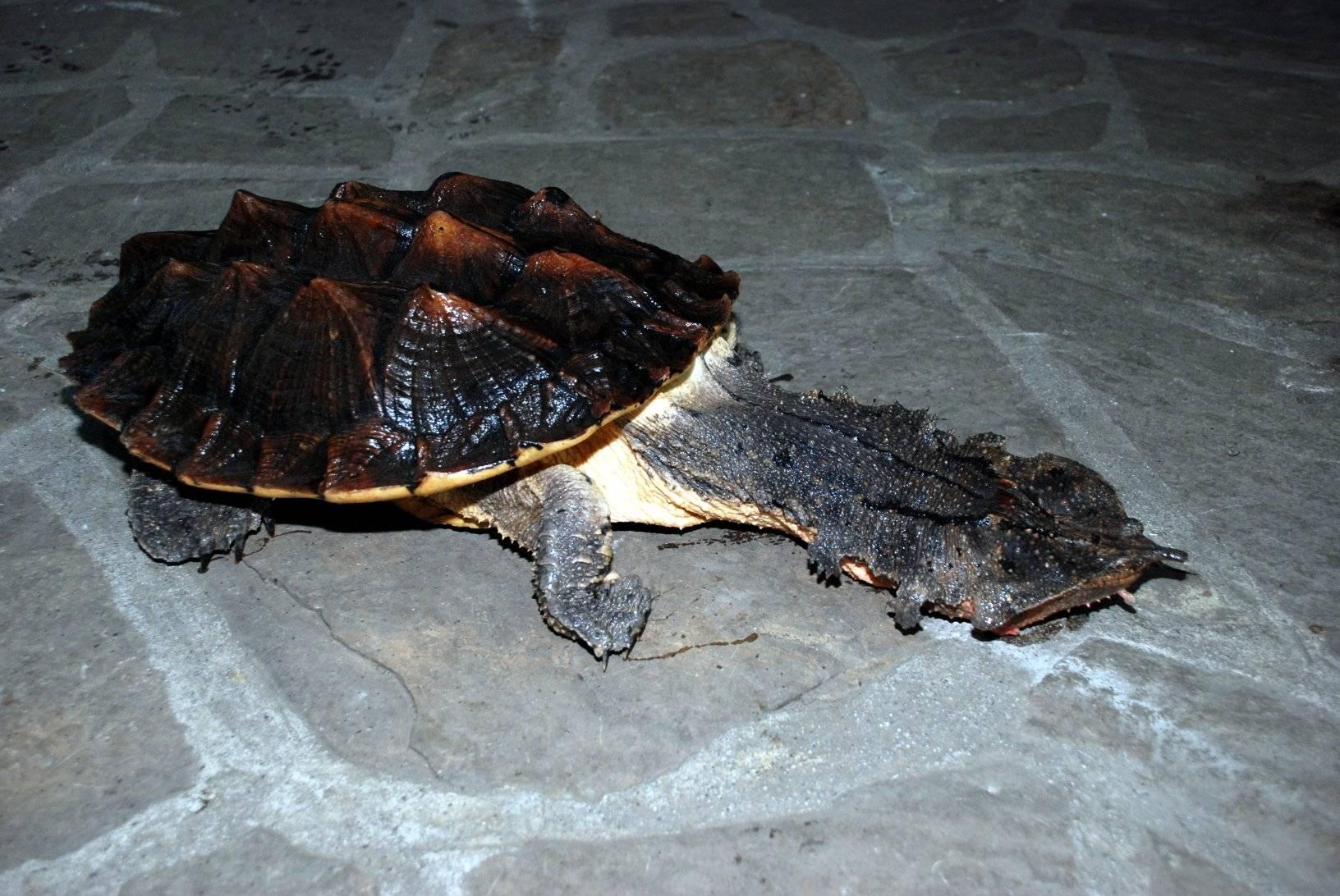 Бахромчатая черепаха