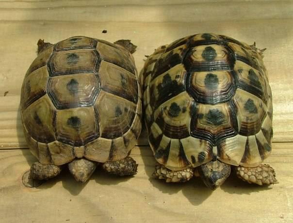 Среднеазиатская черепаха — википедия