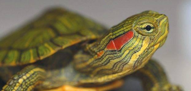 Какую выбрать черепаху