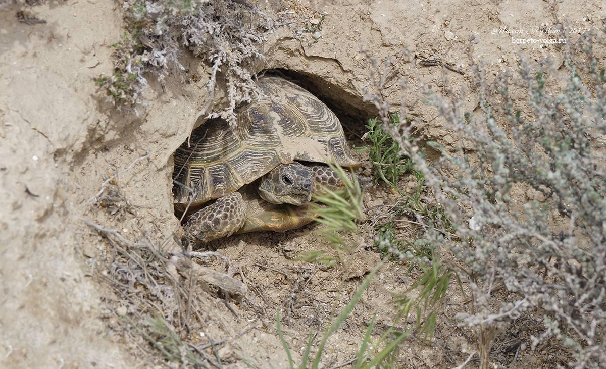 Русская черепаха