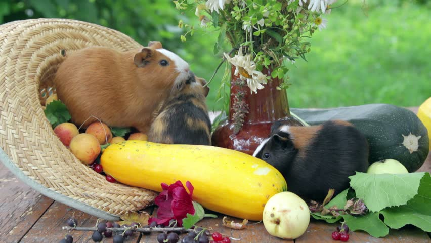 Бананы: можно ли давать морским свинкам?