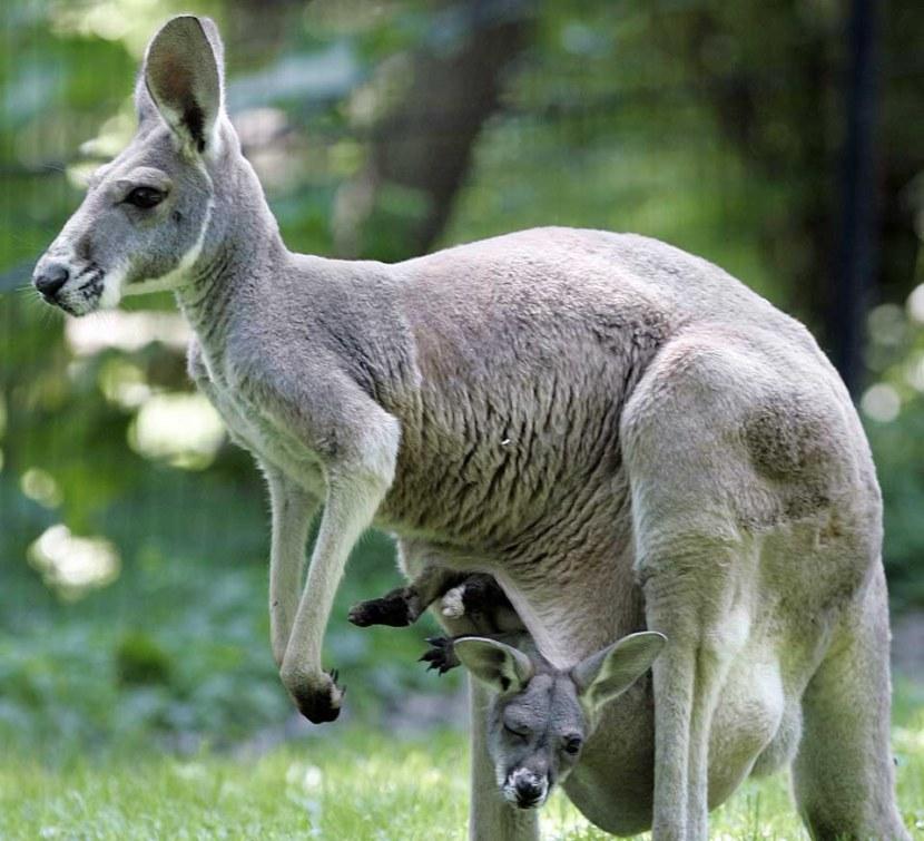 Кенгуру – своеобразное австралийское животное