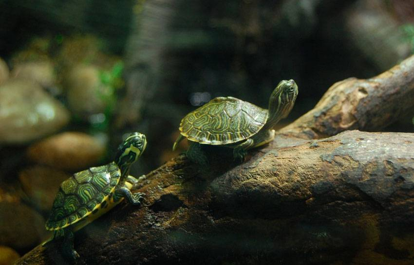 Аквариумные черепашки (27 фото): особенности содержания в аквариуме маленьких и больших черепах. с какими рыбками они смогут ужиться в одном аквариуме?