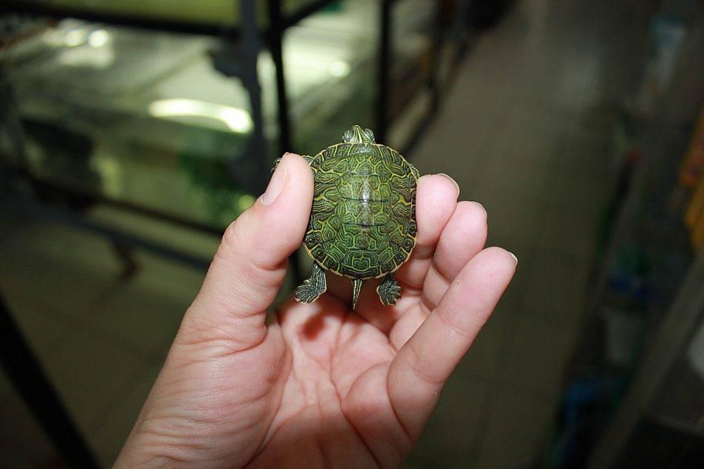 Черепаха — это рептилия или амфибия?