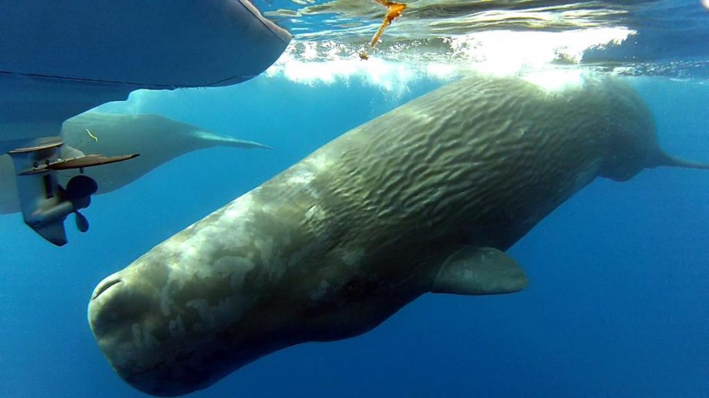 Кашалот: особенности морского гиганта