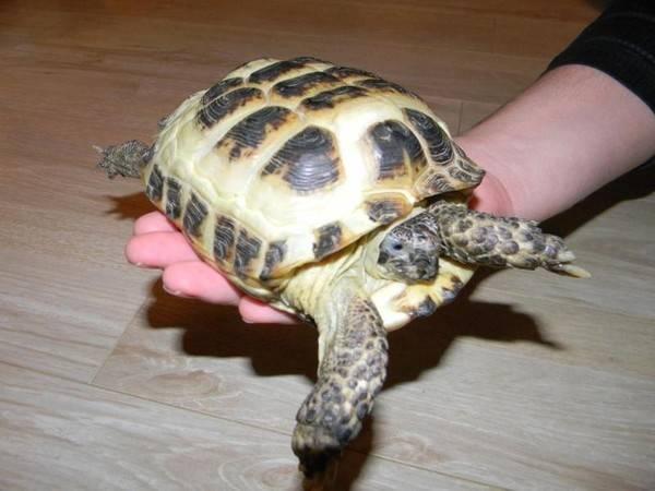 Черепаха сухопутная вызывает аллергию