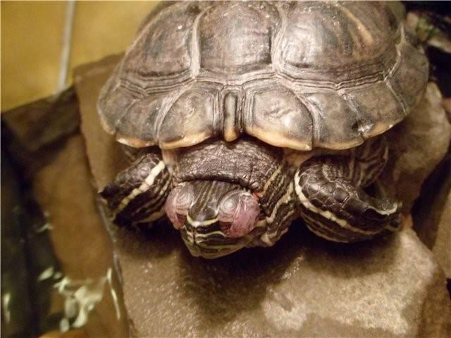 У сухопутной черепахи опухли глаза — симптомы, профилактика, лечение