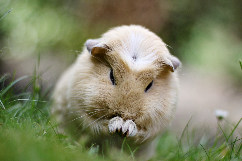 Что делать, если морская свинка чихает?