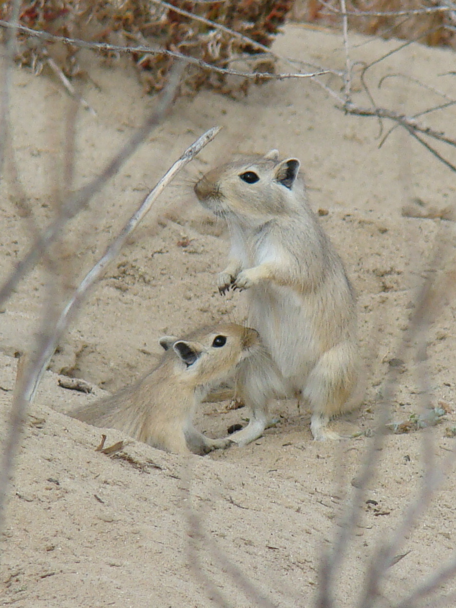 Песчанки – особенности семейства