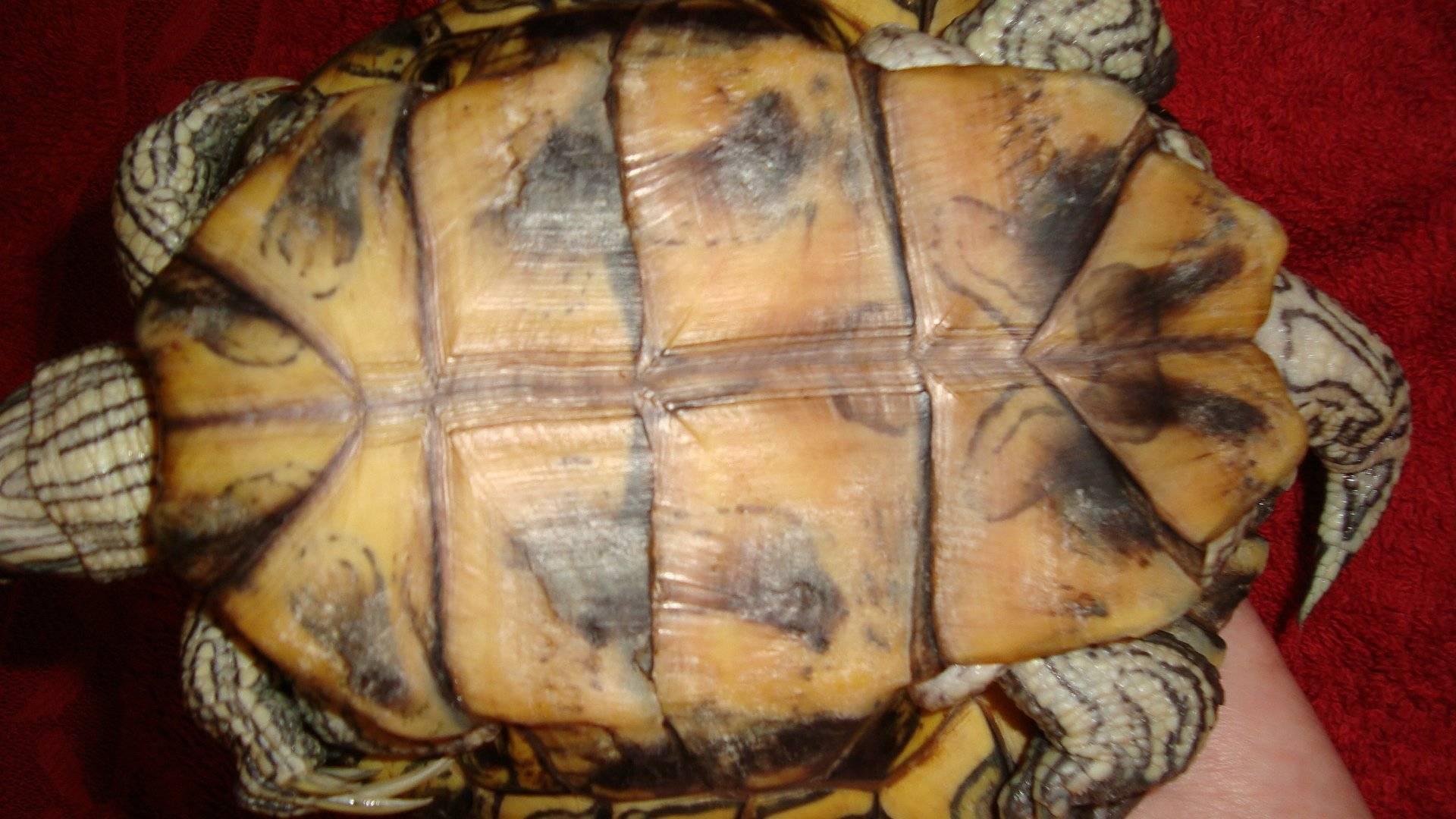 Болезни красноухих черепах, связанные с нехваткой витаминов и кальция
