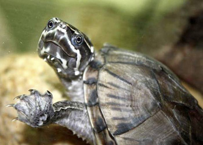 Sternotherus odoratus (обыкновенная мускусная черепаха)