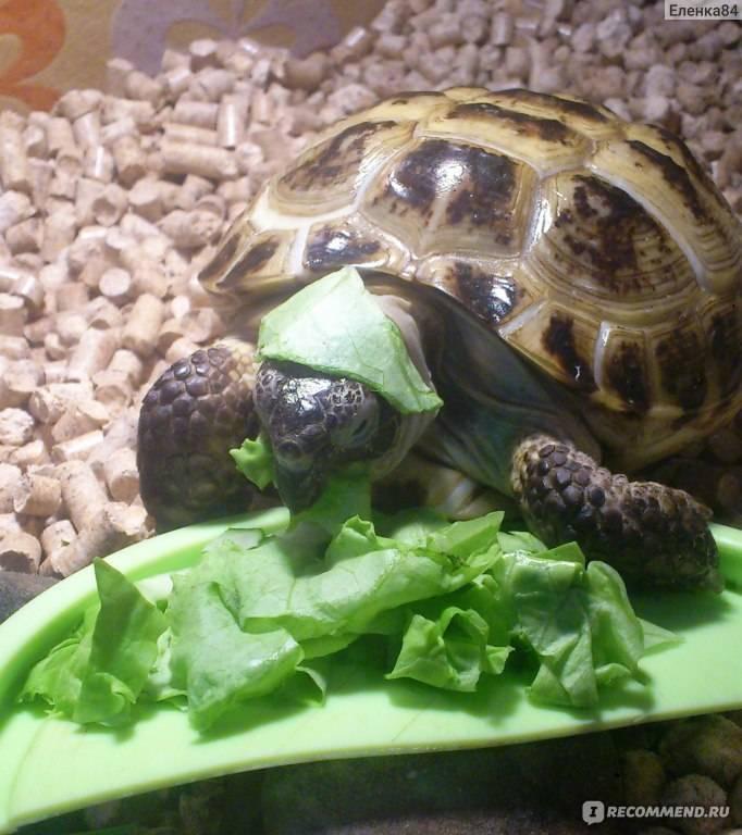 Как ухаживать за черепашкой? - как поить сухопутную черепаху - запись пользователя filipp's mom (filippkinamama) в сообществе домашние животные в категории улитки, черепахи, рептилии - babyblog.ru