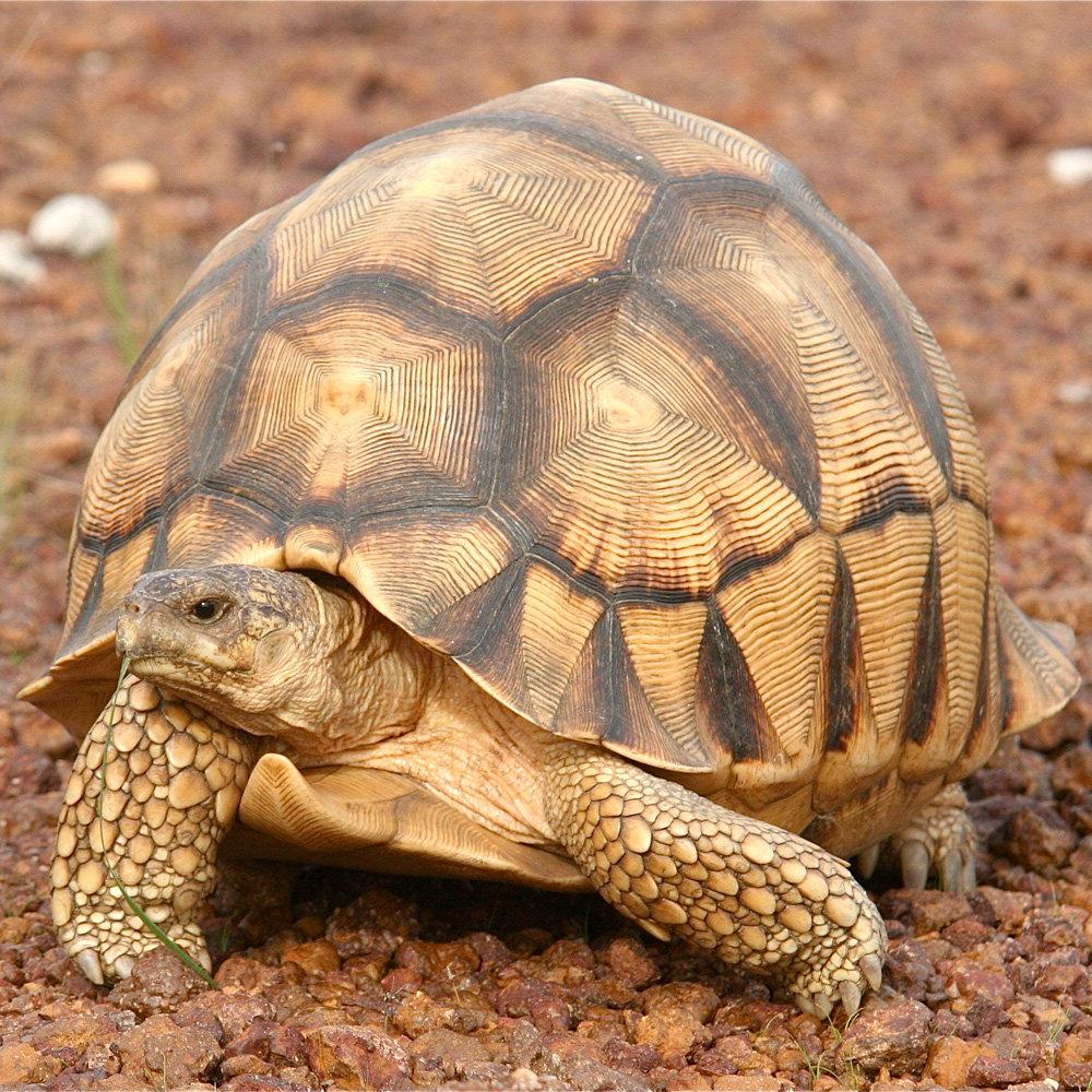 Мадагаскарская клювогрудая черепаха - вики