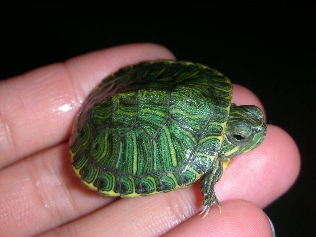 Маленькие домашние водные черепахи