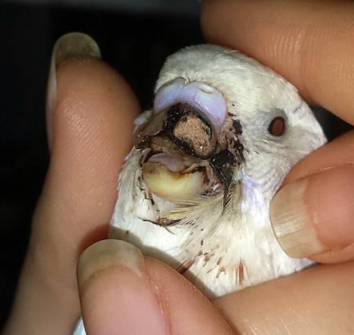 Что делать, если попугаю прищемили лапку?