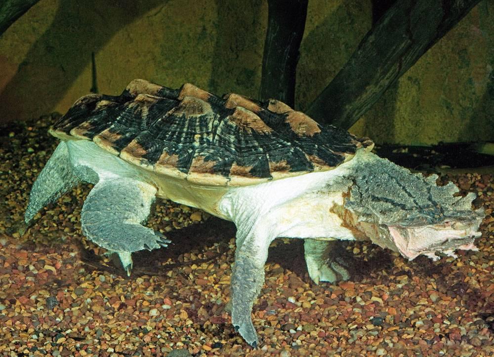 Матамата (черепаха)