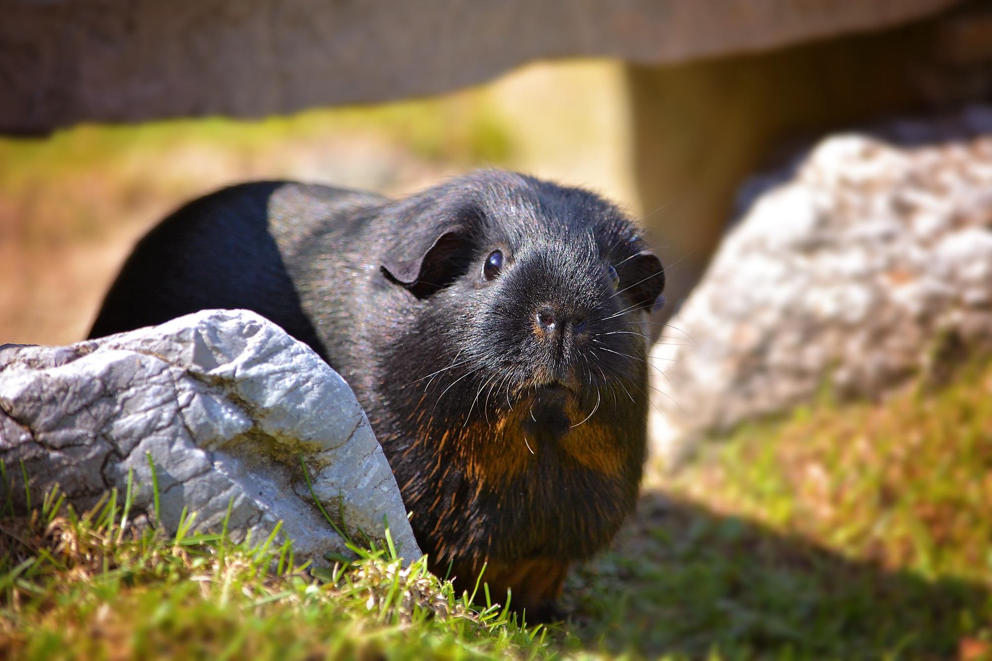 Образ жизни морских свинок в дикой природе