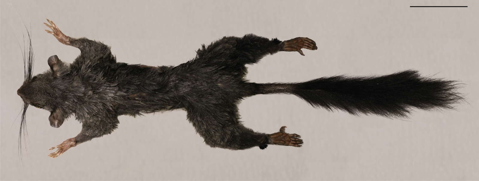 Семейство Шипохвостые – летающие африканские грызуны