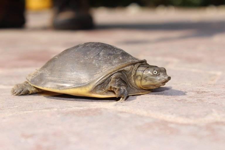 Трехкоготные черепахи