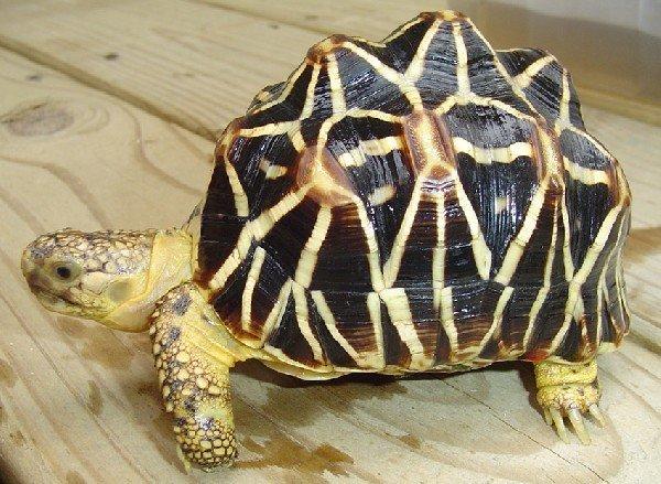 Звездчатые и паучьи черепахи - vetсфера-9 - ветеринарная клиника.