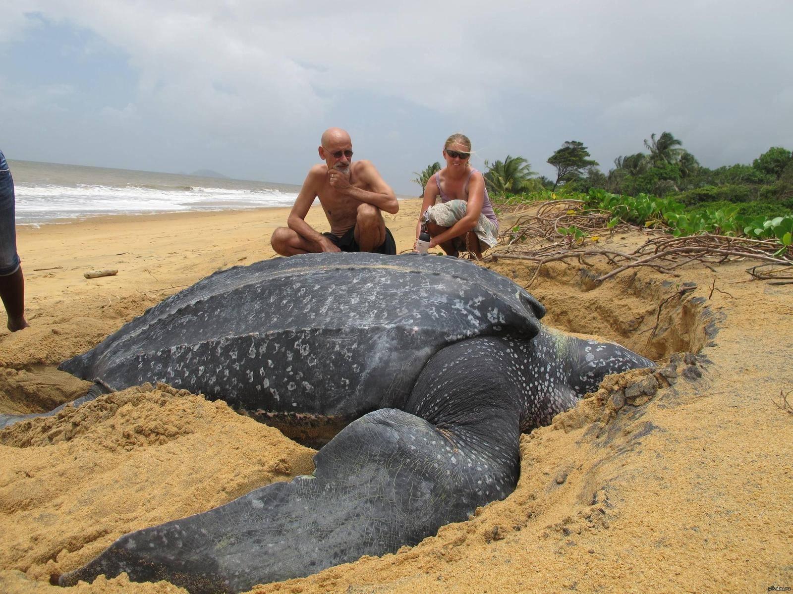 Кожистая черепаха — самая большая