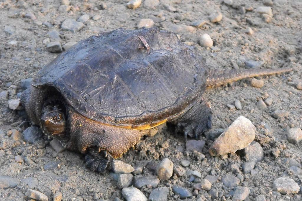 Спячка черепах, полезные советы владельцу. как черепахи зимуют в природе как сухопутная черепаха впадает в спячку