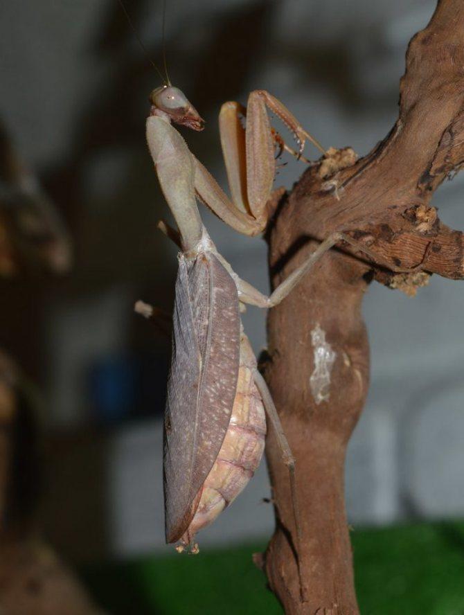 Африканский богомол (Sphodromantis centralis)