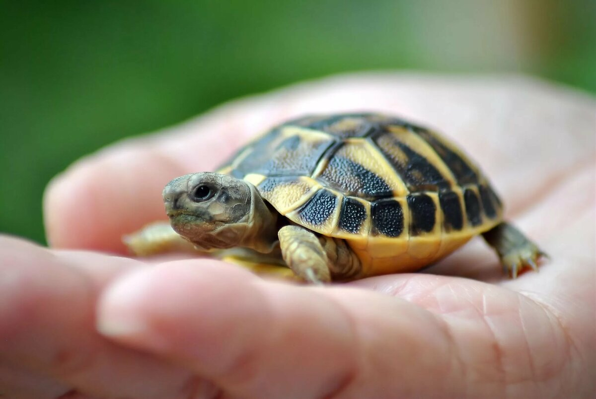 Сухопутная черепаха - как ухаживать и чем кормить в домашних условиях?