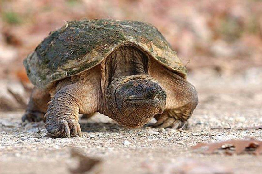 Каймановая черепаха