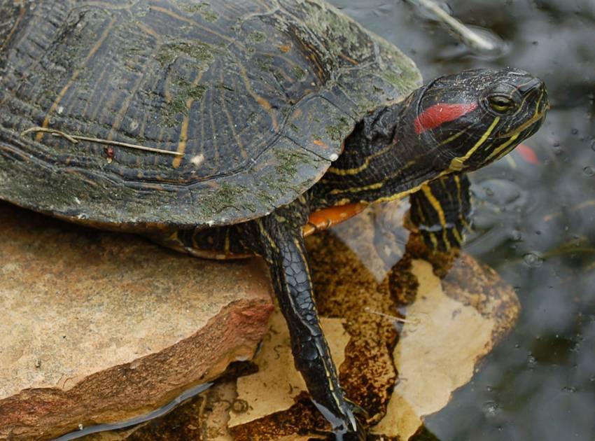 черепахи водные виды