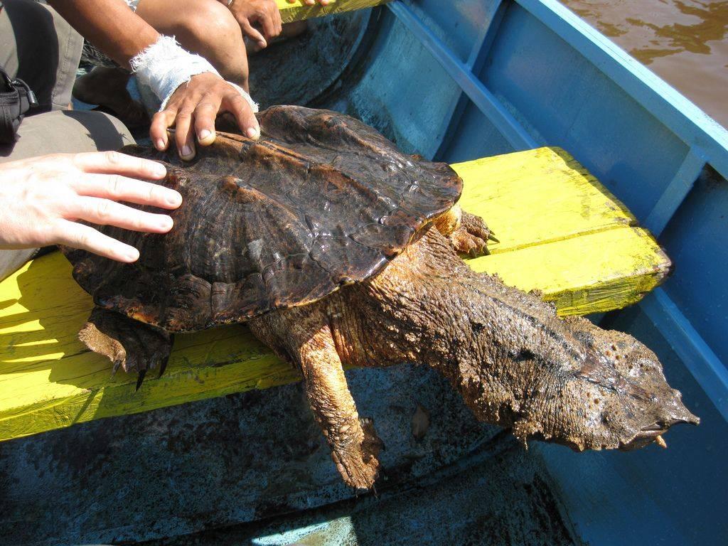 Матамата бахромчатая черепаха