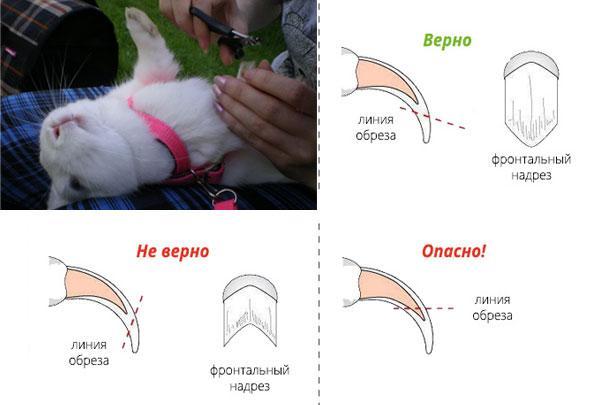 Уход за когтями декоративного кролика: как правильно стричь