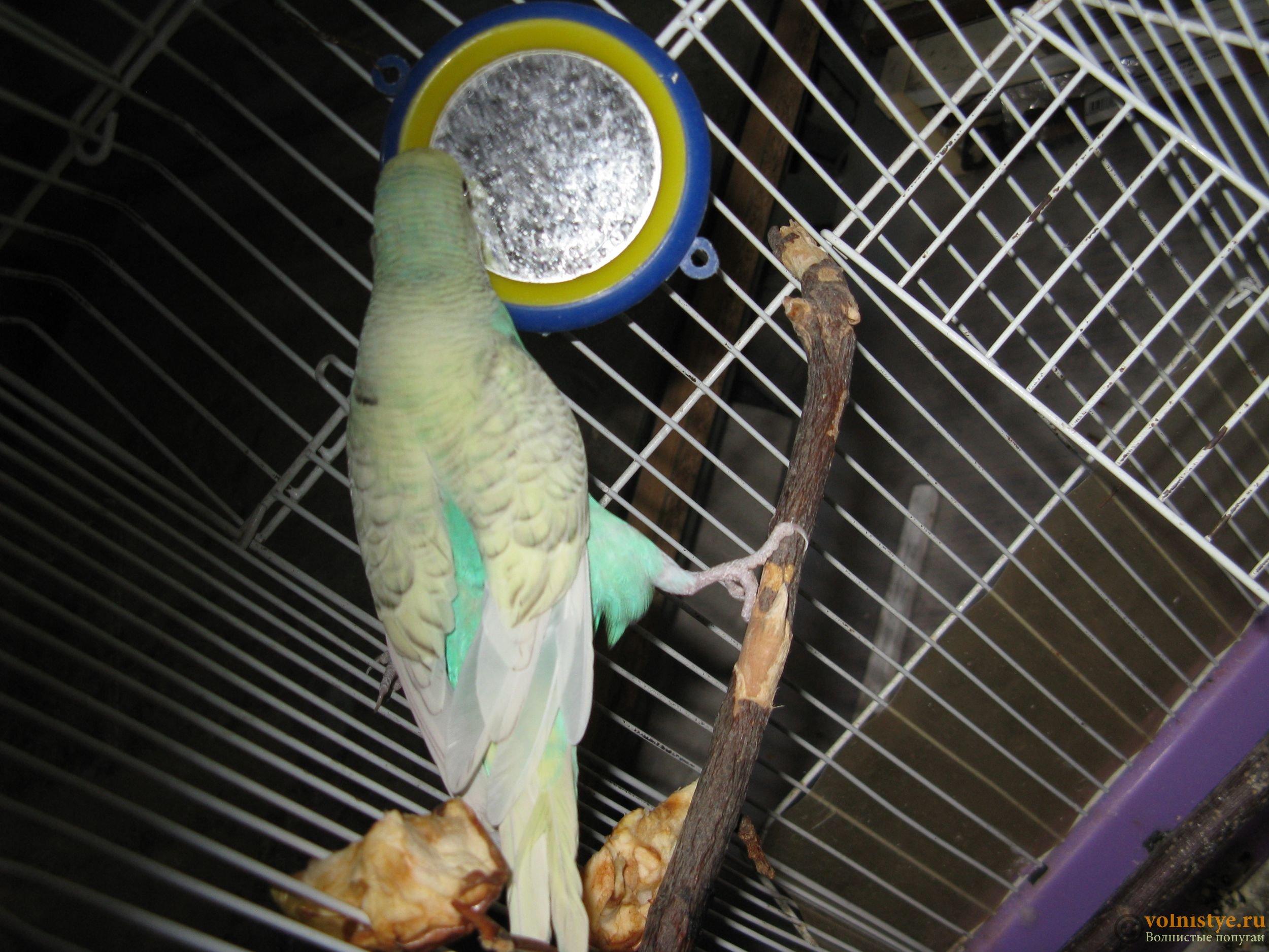 Советы, как правильно купать волнистого попугая